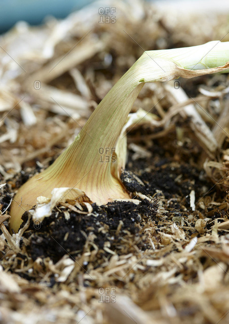 Close up of Spanish Onion in Ground of Vegetable Garden, Ontario, Canada