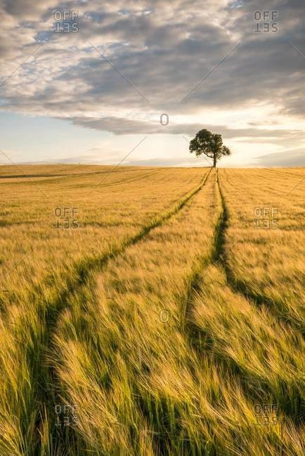 Tire tracks and a lone tree in a vast wheat field