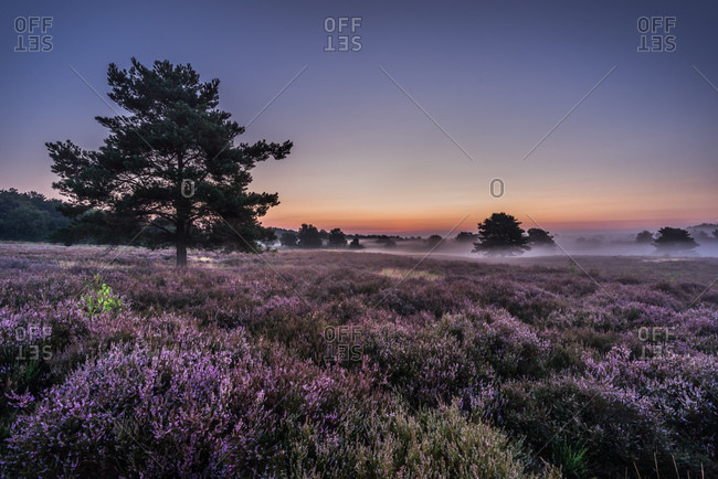 Field of lavender in the morning mist
