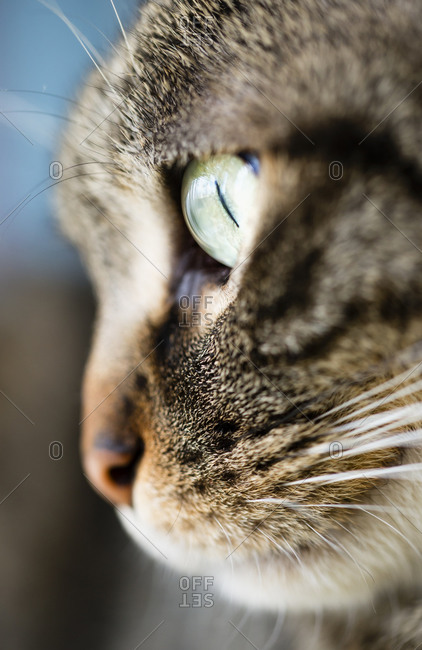 Close up of a tabby's face