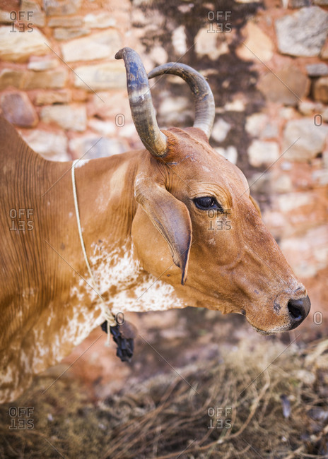 Bull tied to an abandoned building in Jaipur, India