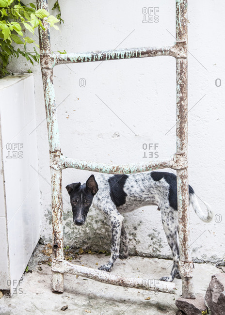 Stray dog standing next to a ladder in Jodhpur, India
