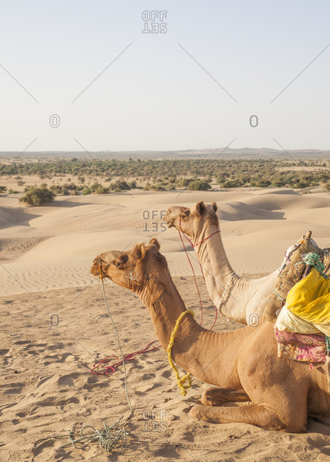 Two camels sitting in the Thar Desert, India