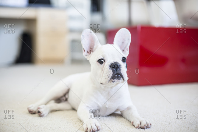 French bulldog lying on floor