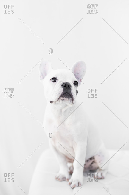 French bulldog in studio shot