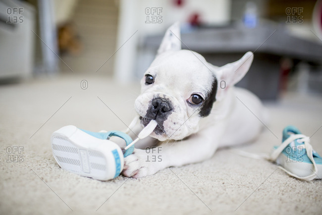 French bulldog chewing shoelace
