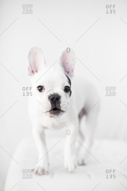 French bulldog standing alert