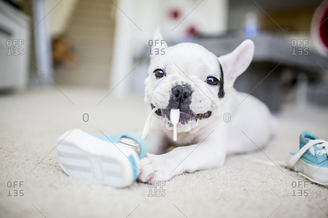 French bulldog chewing a shoelace