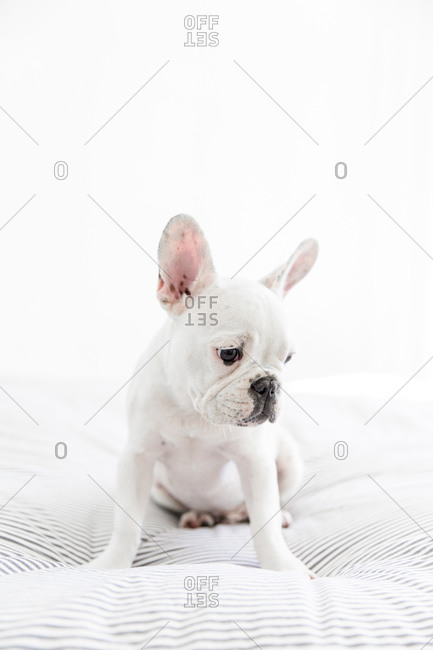 French bulldog on bed staring