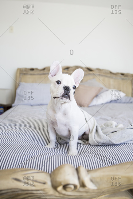 French bulldog sitting on a bed