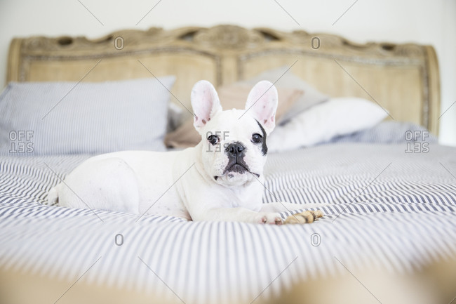 French bulldog resting on bed
