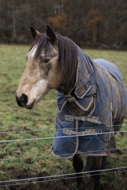 Portrait of a horse wearing a blue blanket