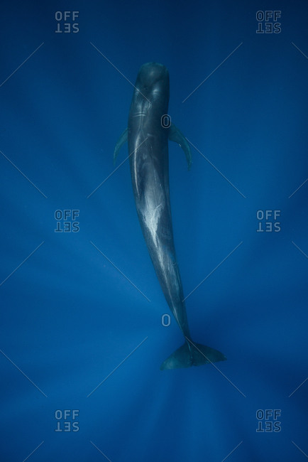 Above underwater view of short finned pilot whale, Magadalena bay, Baja California, Mexico