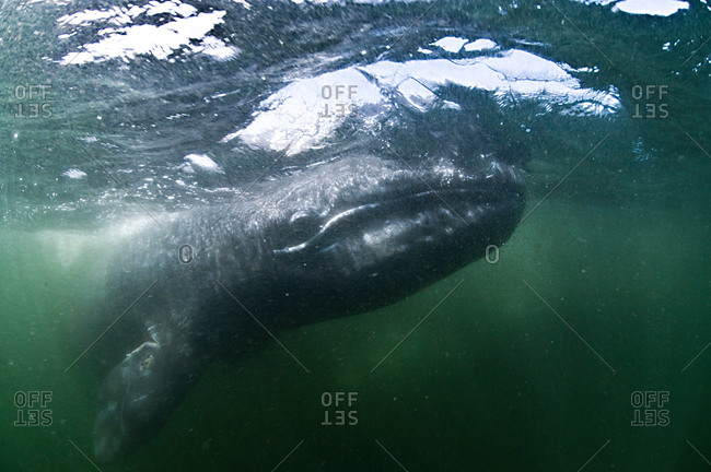 Underwater view of grey whale looking, ahead, Magadalena bay, Baja California, Mexico