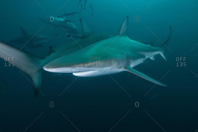 Underwater side view of oceanic black tip shark, Aliwal Shoal, Durban, South Africa