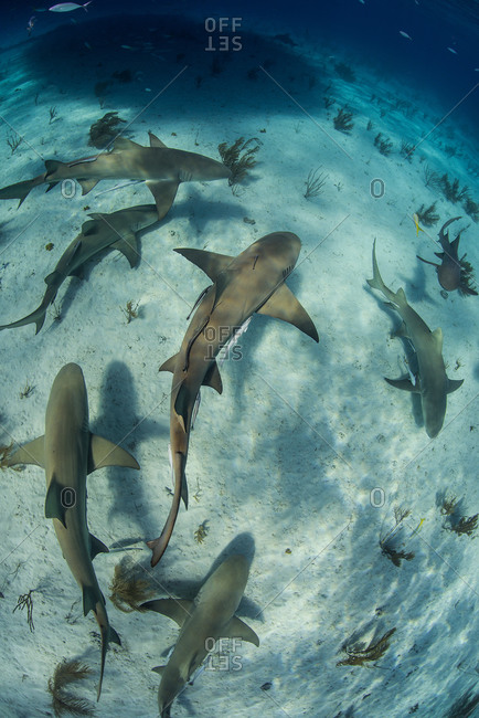 Overhead underwater view of  school of lemon sharks swimming near seabed, Tiger Beach, Bahamas
