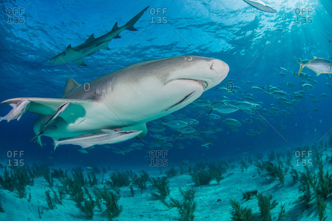 Low angle underwater view of lemon shark swimming near seabed, Tiger Beach, Bahamas
