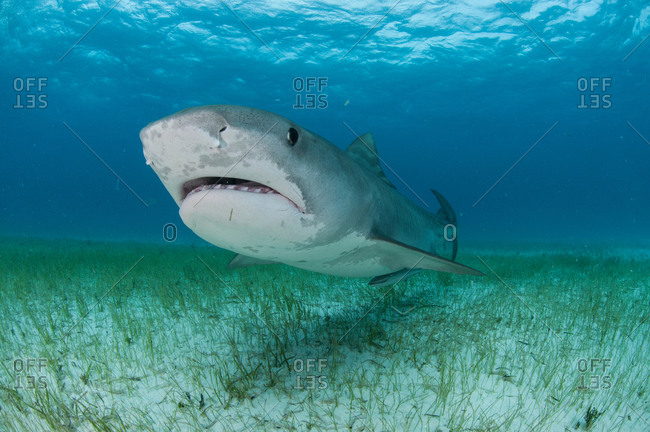 Low angle underwater view of tiger shark swimming near sea grass covered seabed, Tiger Beach, Bahamas