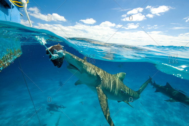 Underwater view of lemon shark near water surface eating bait hanging from boat, Tiger Beach, Bahamas