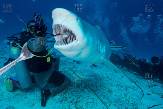 Dive master hand feeding female bull shark, Playa del Carmen, Quintana Roo, Mexico