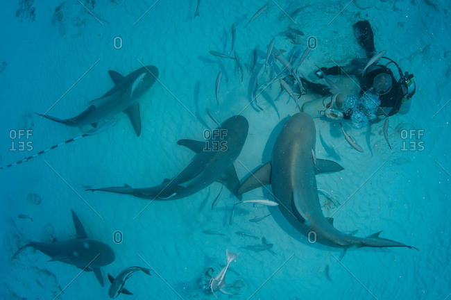 A dive master hand feeds bull sharks during the sharks winter migration, Playa del Carmen, Mexico