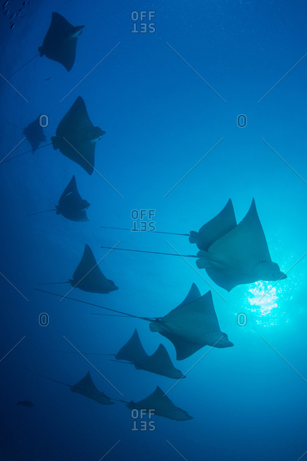 Underwater low angle view of school of spotted eagle rays (Aetobatus narinari), Cancun, Mexico
