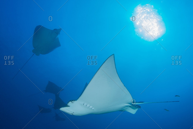 Underwater low angle view of spotted eagle ray (Aetobatus narinari), Cancun, Mexico