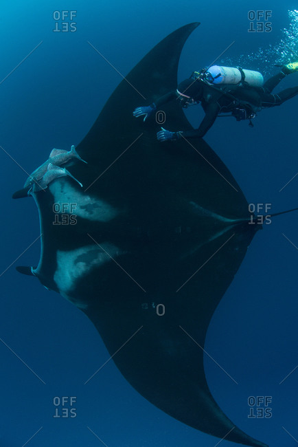Underwater view of diver touching giant pacific manta ray, Revillagigedo Islands, Colima, Mexico