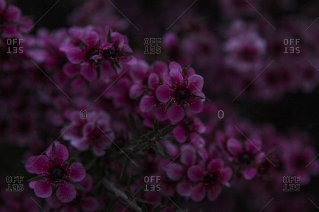 Close-up of pink flowers on a bush