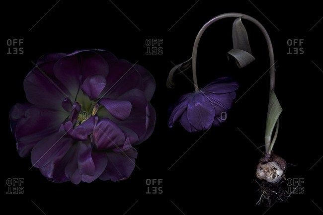 Large bloom and drooping purple flower