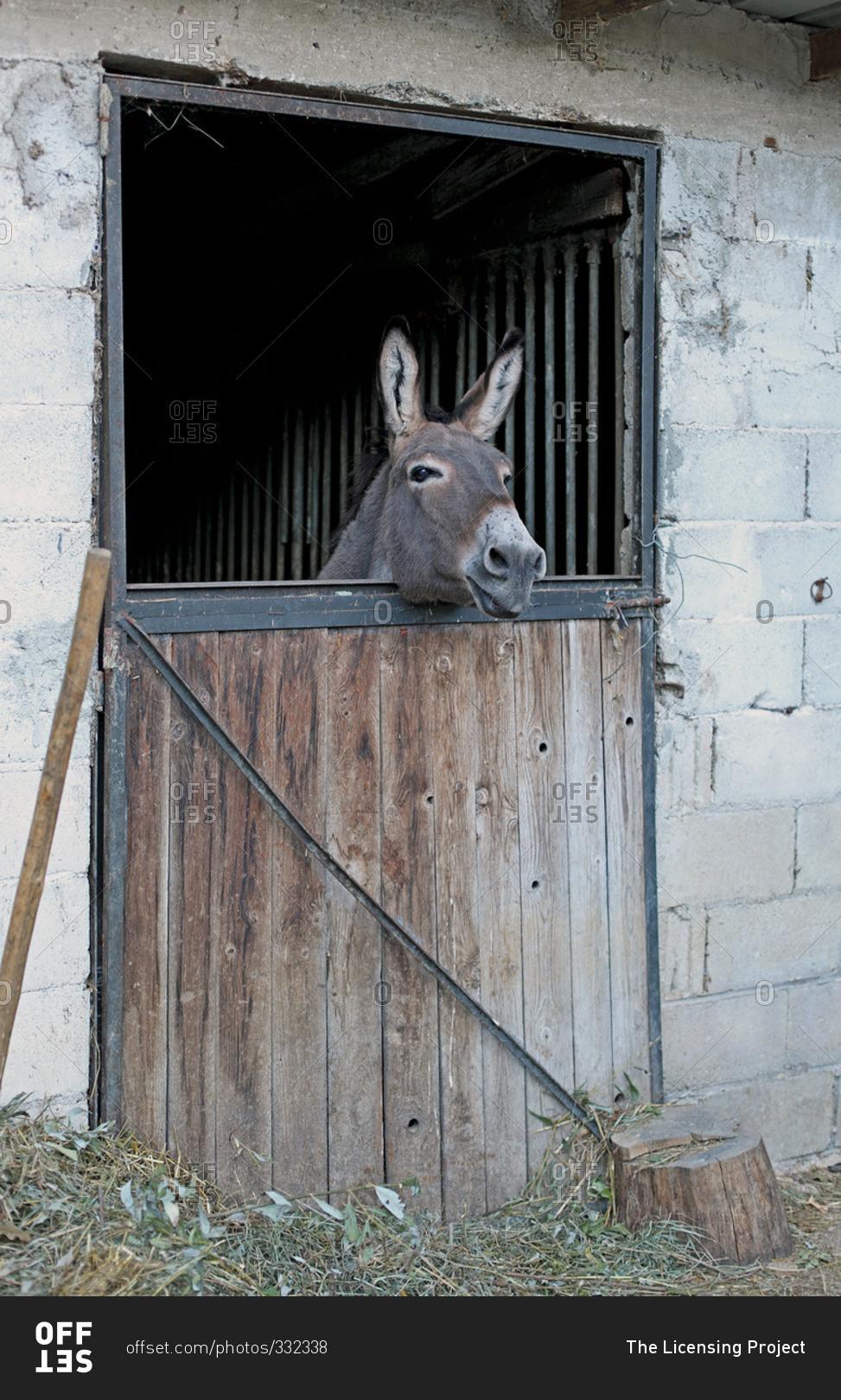 Donkey's head peering over an antique barn door stock photo - OFFSET