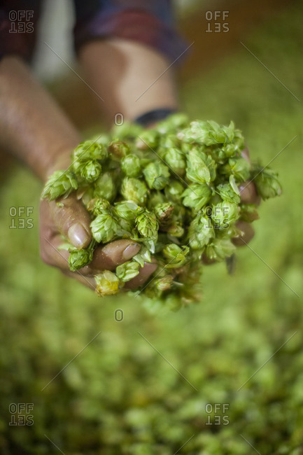 Close up detail of drying hops in a workers hands