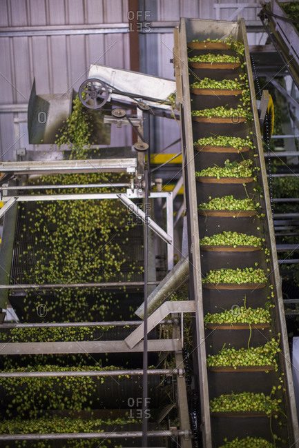 Hops going through the picking, sorting and cleaning process