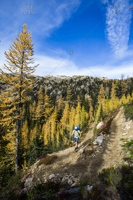 A young man hikes through the larch trees in the Pasayten Wilderness