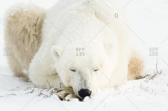 Close-up of polar bear asleep with its head on its paws