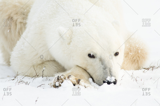 Polar bear with snow on its nose