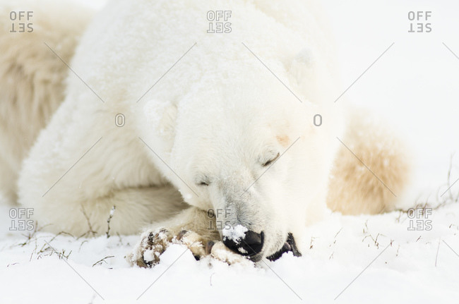Close-up of polar bear cleaning its paws