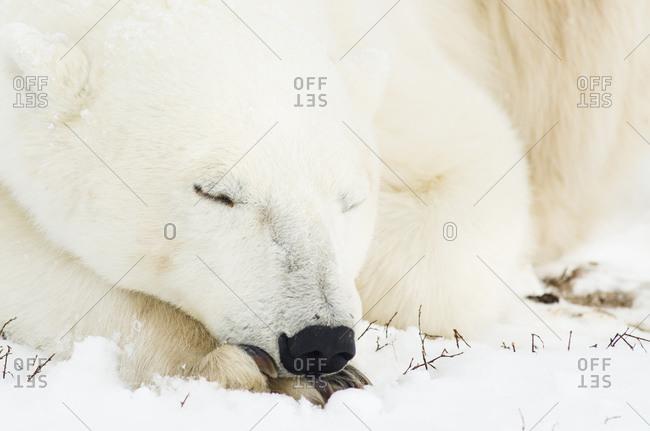 Polar bear asleep with its head on its paws