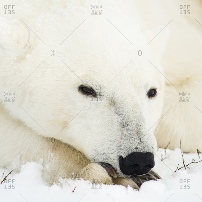 Polar bear resting with its head on its paws