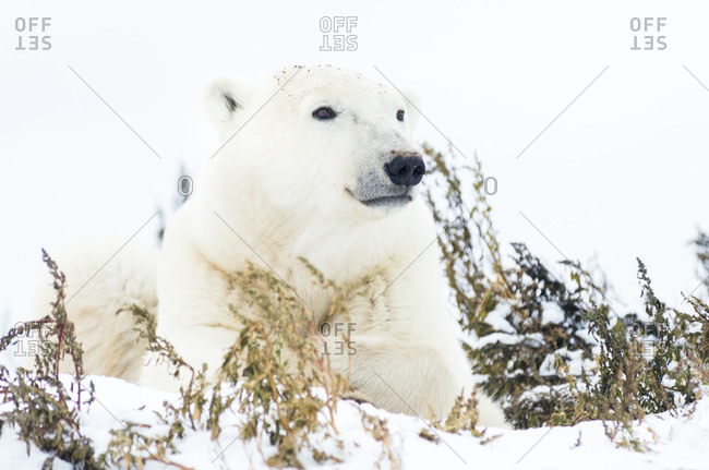 Polar bear lying in snow-covered plants