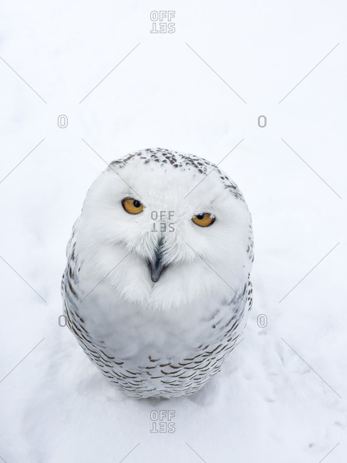 Portrait of a snowy owl with yellow eyes