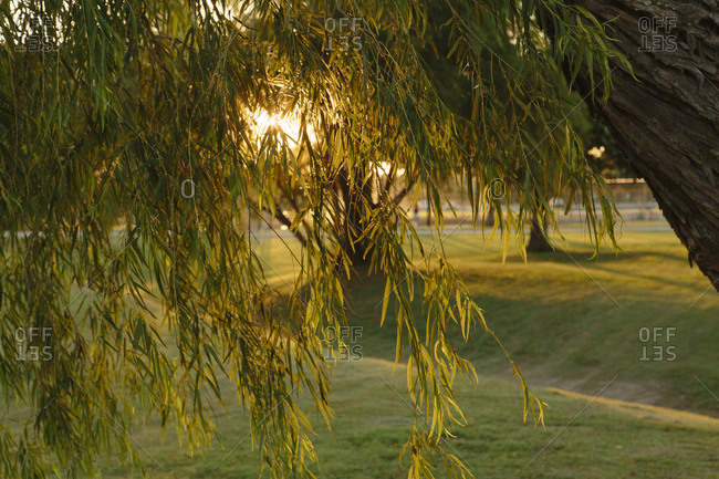 Willow tree in a park at sunset