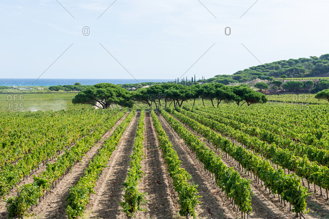 Vineyard in the French countryside