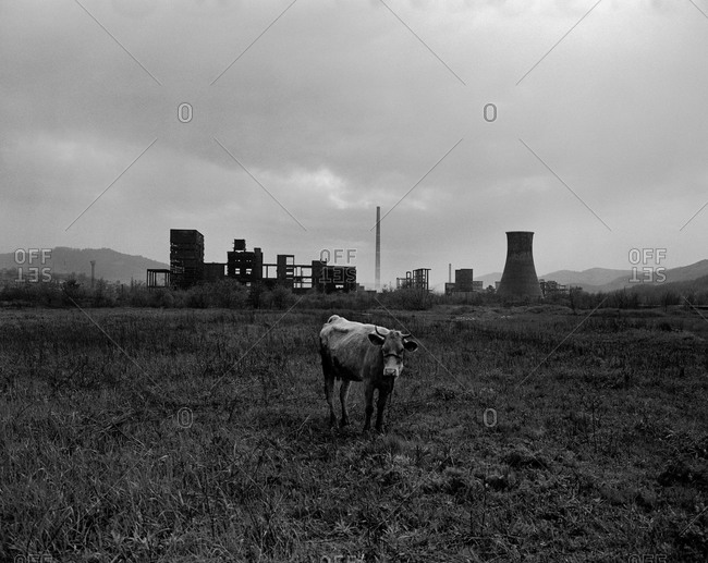A cow standing alone, tethered in a field on the outskirts of Copsa Mica, Transylvania, Romania