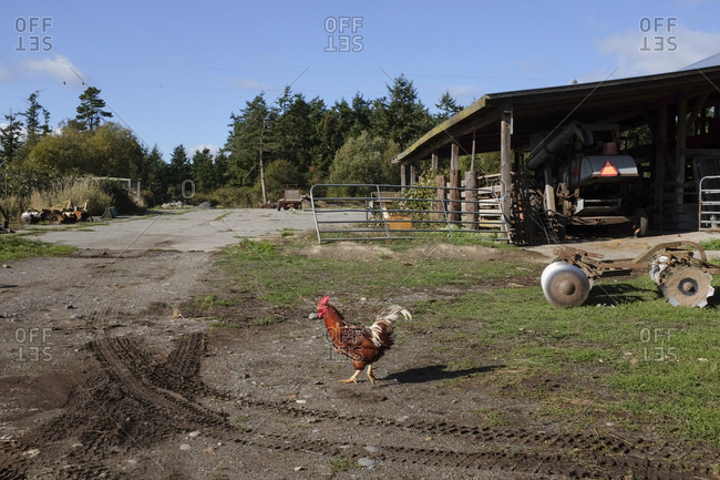 Rooster walking across a muddy driveway on a farm