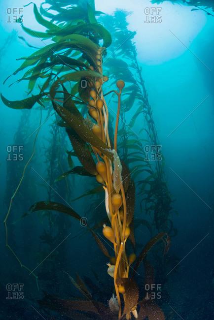 Underwater view of Kelp (macrocystis pyrifera), Ensenada, Baja California, Mexico