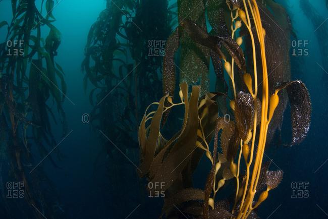 Close up underwater view of Kelp (macrocystis pyrifera) seed pods, Ensenada, Baja California, Mexico