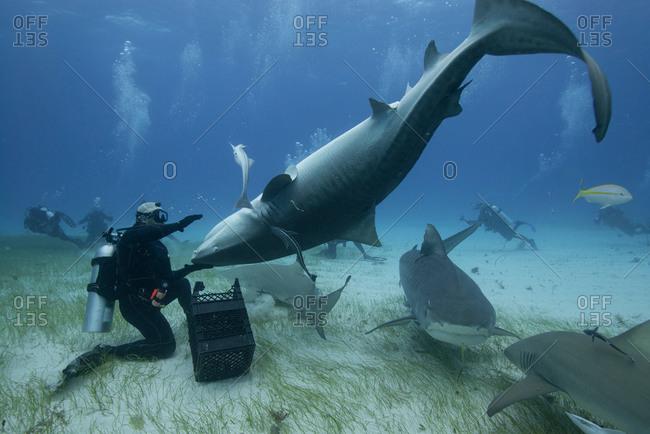 Underwater view of diver holding upside down tiger shark, Northern Bahamas Banks, Bahamas