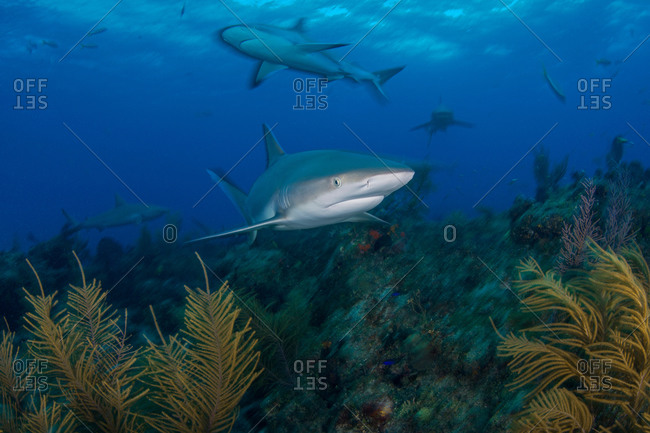 Underwater view of grey reef  sharks searching plant covered seabed, Northern Bahamas Banks, Bahamas