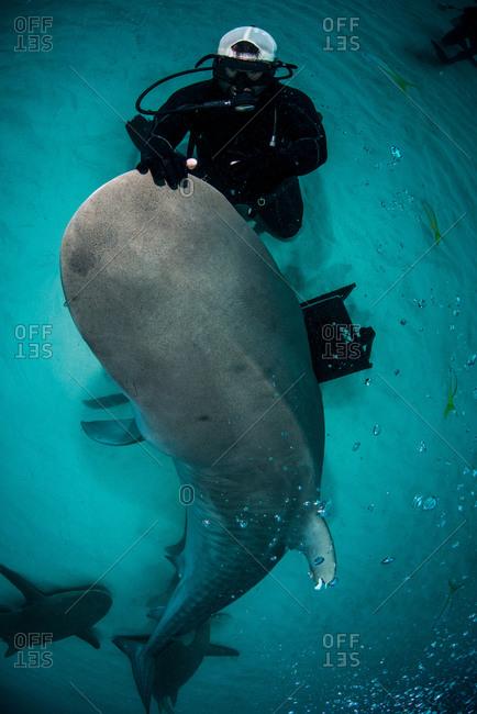 High angle view of scuba diver stroking tiger sharks nose, Northern Bahamas Banks, Bahamas
